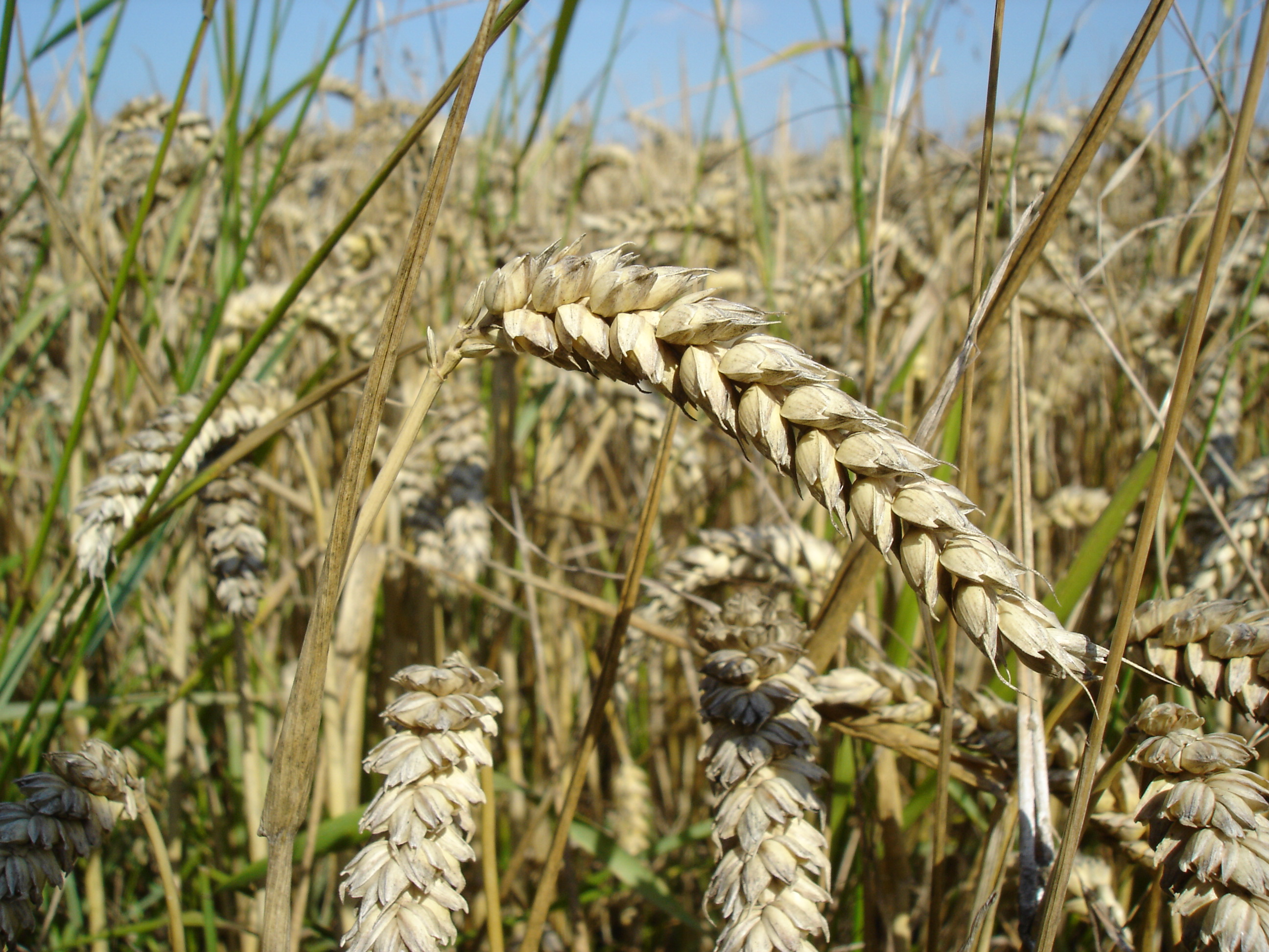 Wheat_close-up